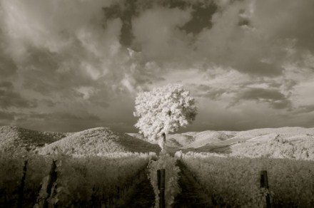 ron_rosenstock_vineyard_tree_italy